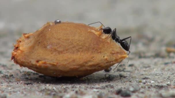 Černý mravenci, kteří lezou kolem meruňkovým semen zvířata
