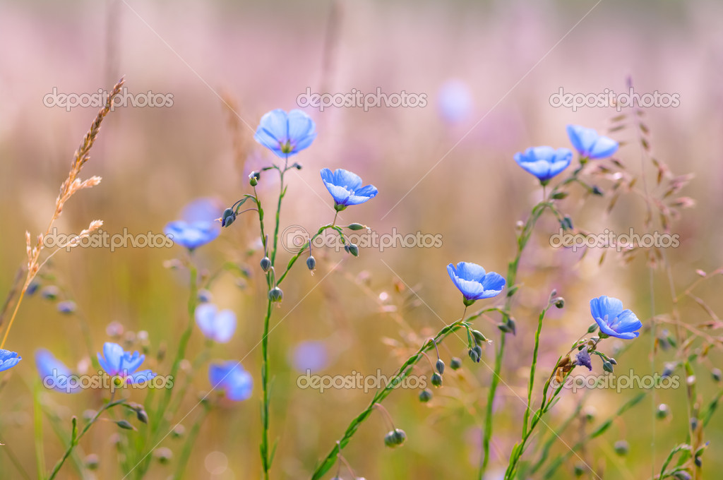 Blue Flax flowers or Linum lewisii
