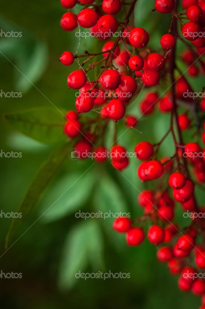 Nandina Domestica Rote Beeren Von Japanischen Heiliger Bambus