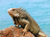Fotografia Iguana
