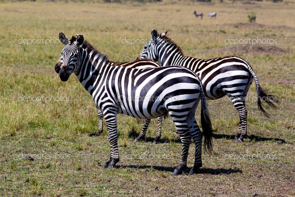 Zebra - Safari Kenya
