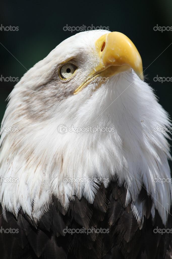 Imágenes: del aguila calva | águila calva — Foto de stock ...