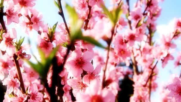 japonské třešně na jaře
