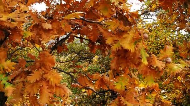 autumn oak leafs forest