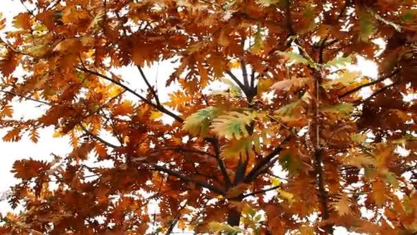 podzimní dubového listí lesní