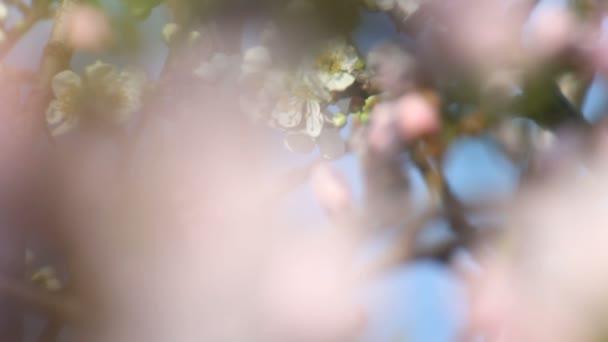 jarní strom japans chery
