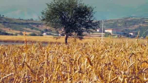 Obilné pole s obilím