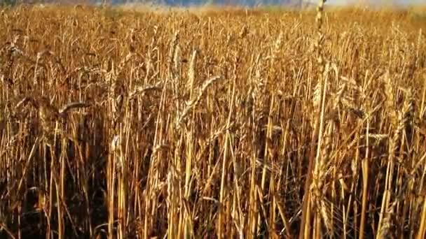 grain field with the grain