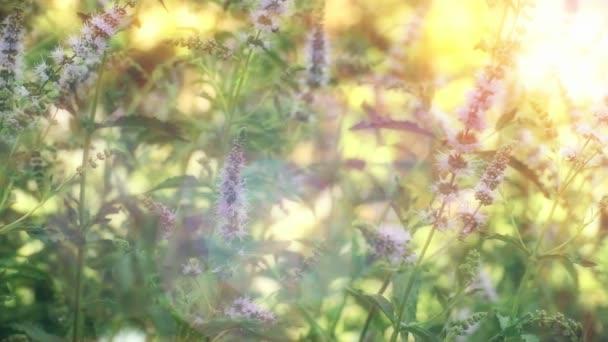 přírodní bylinný máta