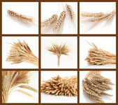 Photo Ear and grain of the wheat
