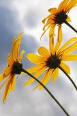 Sárga virágok ellen, blue sky