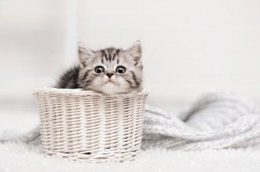 Tabby kitten in basket