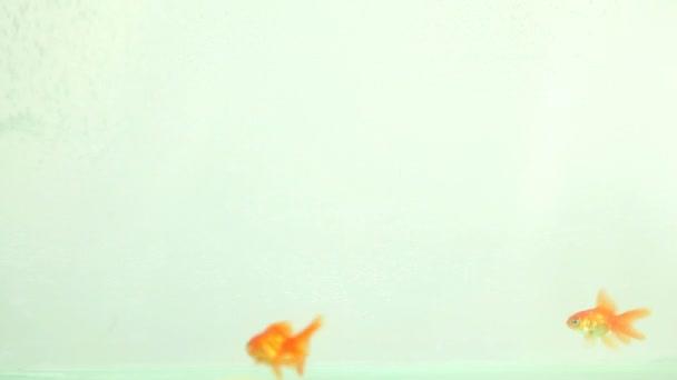 Aranyhal akvárium