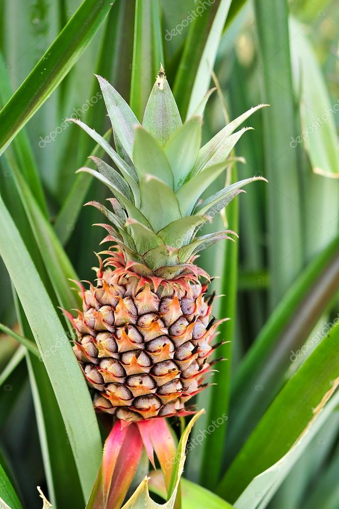 beautiful a young pineapple