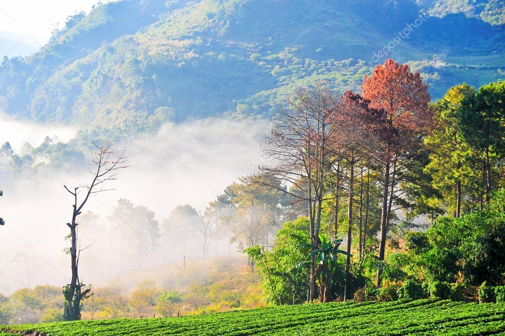 Strawberry plantation at doi angkhang mountain, chiangmai : thai