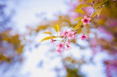 Himalayan Cherry (Prunus cerasoides) blooming at pang khon    mo