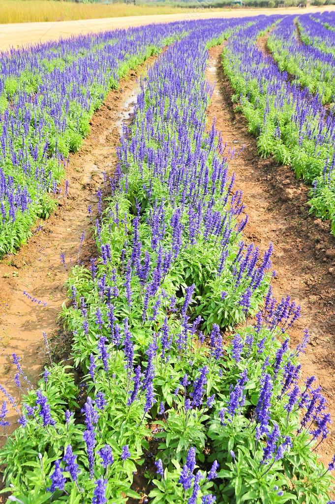 Field Blue Salia