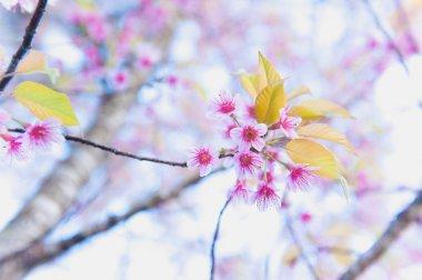 Sakura flower blooming blossom in Pangkhon mountain Chiang rai,