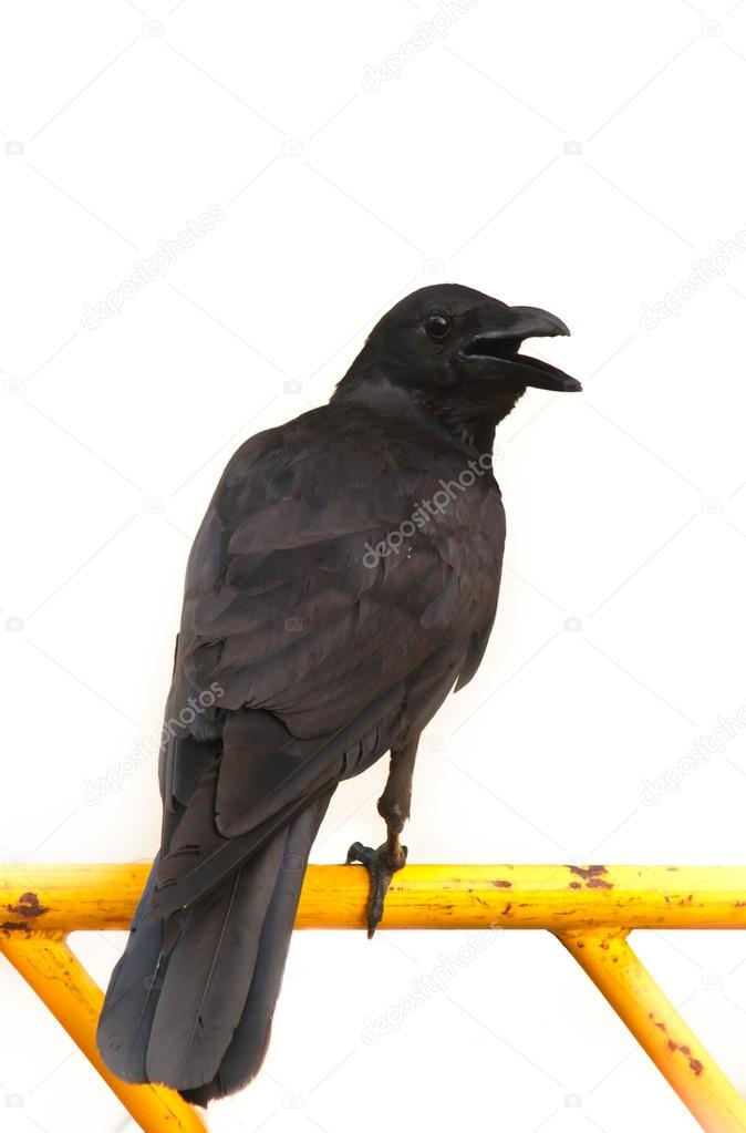 kraai of zwarte raaf stockfoto 169 tachjang 47334947