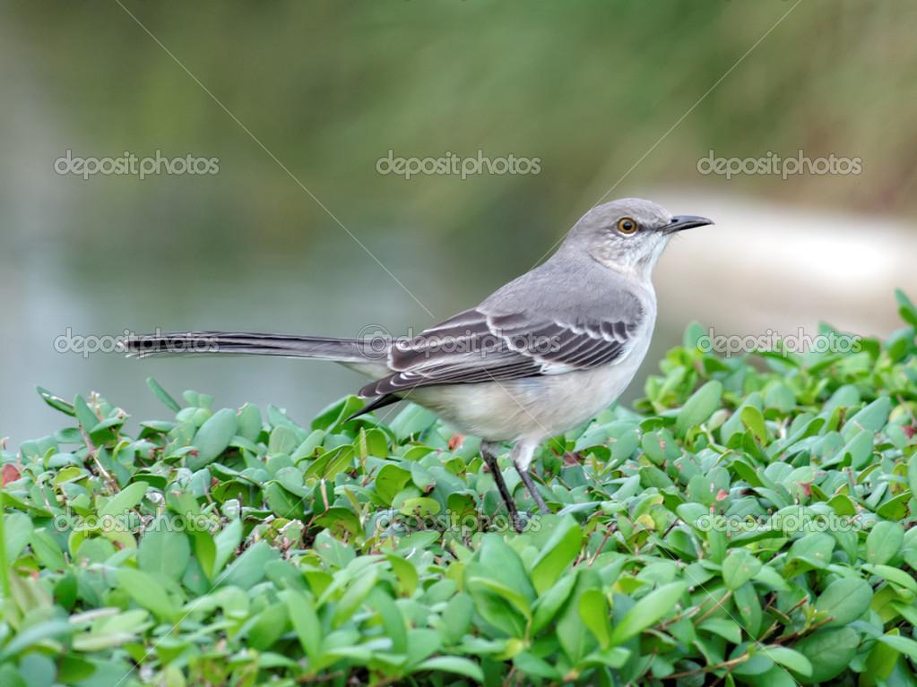 Florida State Bird - Northern Mockingbird — Stock Photo