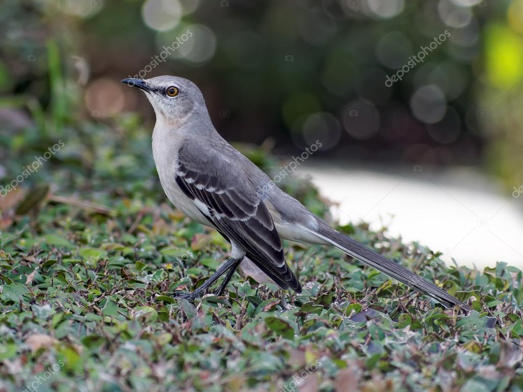 northern mockingbird on a bush stock photo 40093827 - Mocking Bird Download