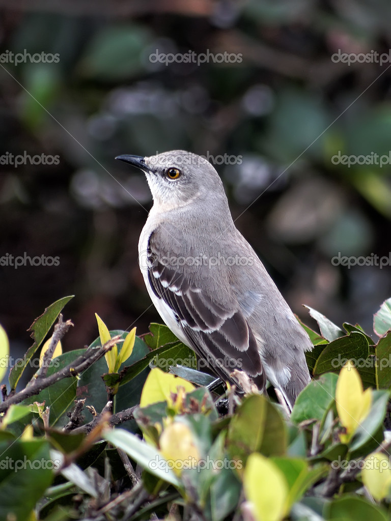 portrait of a northern mockingbird florida state bird stock photo 40093887