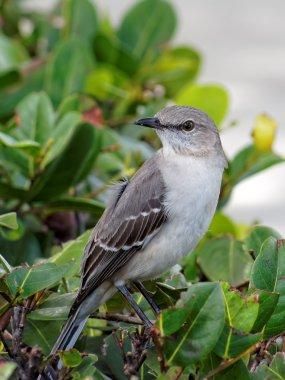 The Florida State Bird - Northern Mockingbird