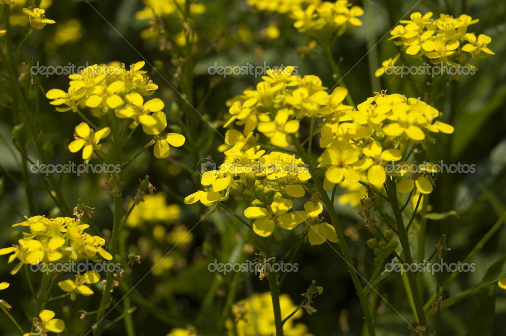 Fotos Flores Silvestres Amarillas Flores Amarillas Silvestres