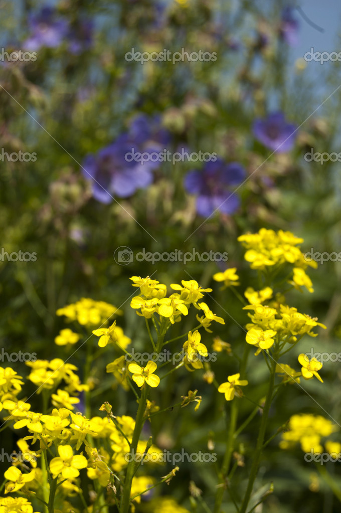 Flores Silvestres Amarillas Pequenas Flores Amarillas Silvestres