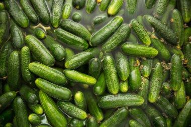 gurtsov conservation. Fresh cucumbers in jars