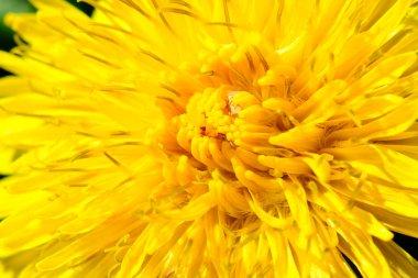 Macro of Yellow Dandelion Flower