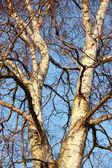 albero di betulla con cielo blu sfondo