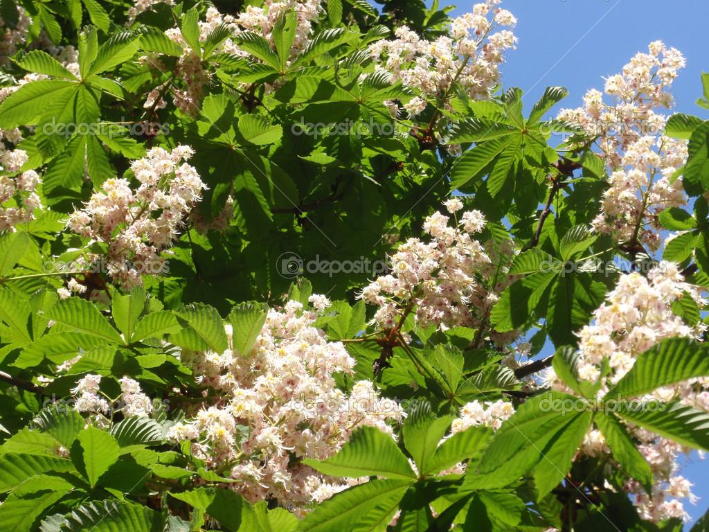 Flowering buckeye