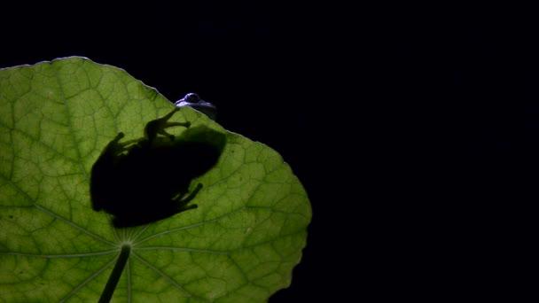 südlichen Frosch