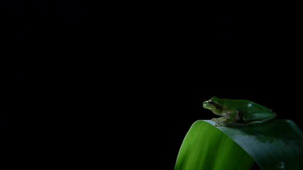 Jižní žába