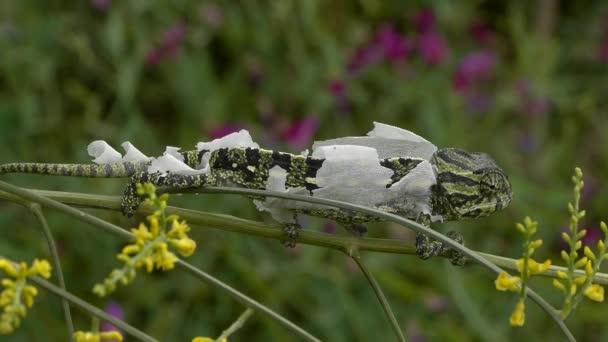 společné chameleon svlékání