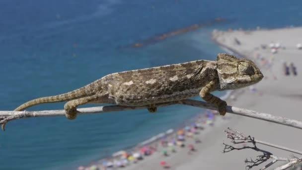 společné chameleon