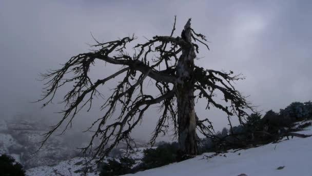 Skotové borovice
