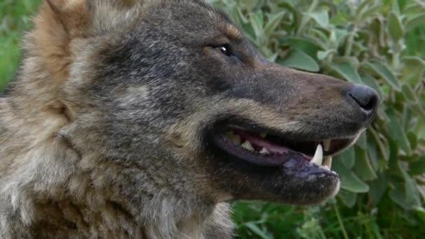 Iberský vlci