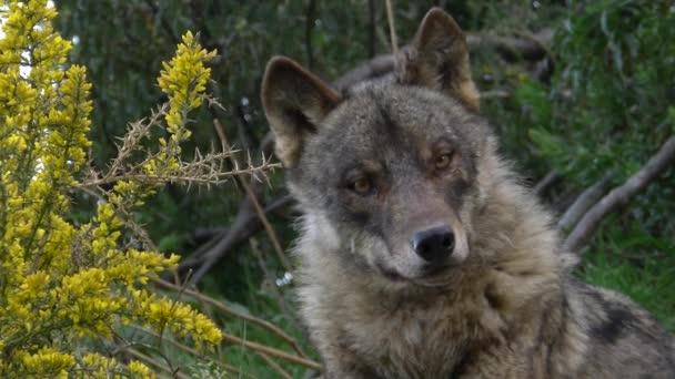 Iberische Wölfe
