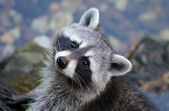 Cute grey raccoon