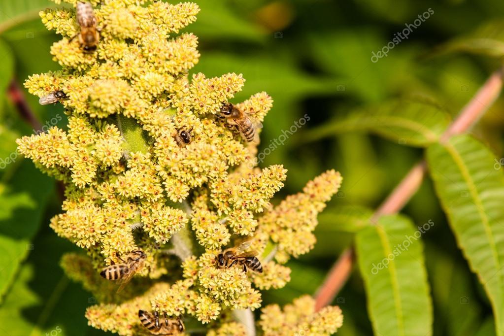 Bees on sumac