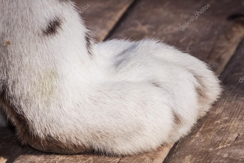 White Tiger paw