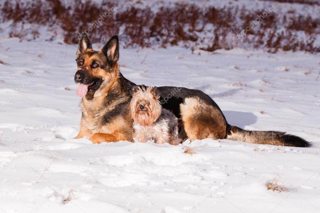 German Shepherd with Yorkshire terrier