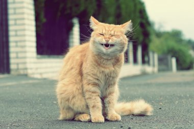 Ginger funny cat laughs
