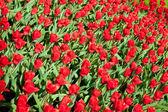 vörös tulipán mező