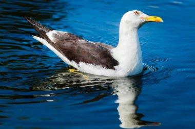Herring gull swimming in bright blue water