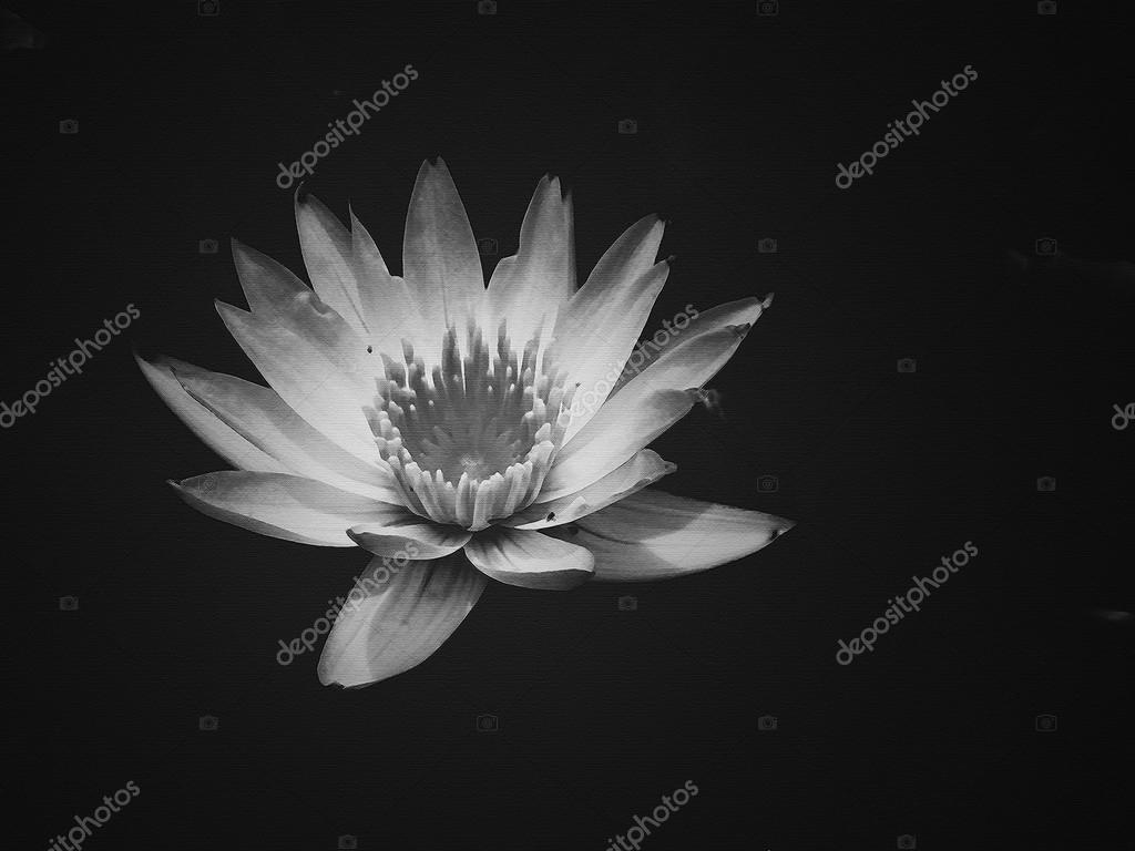 Lotus Flower Photography Black And White Flowers Healthy