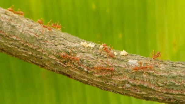 Ants walking on branch, full HD.