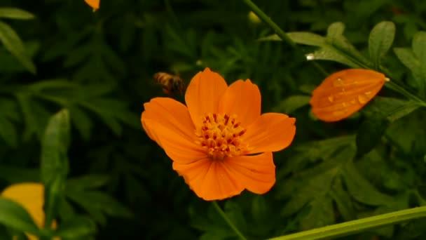 repülő méhek nektár kozmosz virágok, full hd